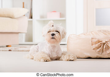 Little dog laying at home - Cute young Maltese laying near...