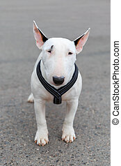 domestic dog Miniature Bull Terrier breed - Domestic dog...