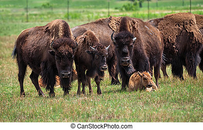 American Bisons and calf on green pasture