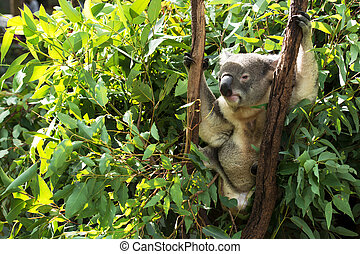 Koala by itself eating