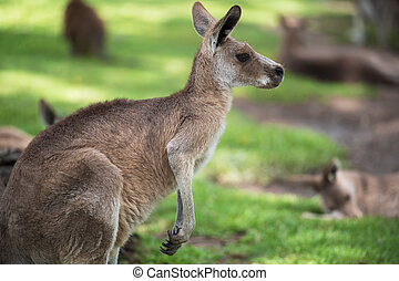 Kangaroo by itself.