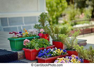 pansies in pots