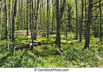 Herd pigs - Herd of italian pigs eating acorns of oaks in...