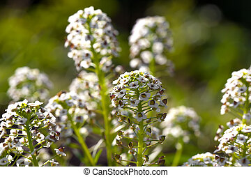 Sweet Alyssum Lobularia maritima, is a species of...