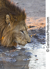 Male lion drinking water 3 - Male lion drinking water at...