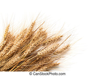 Spikelets of wheat isolated on white background - Spikelets...