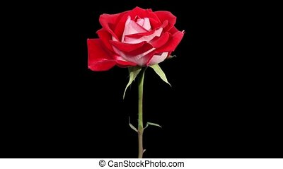 Blooming red roses flower buds ALPHA matte, FULL HD Rose...