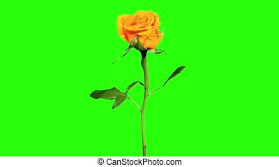 Blooming yellow roses flower buds green screen, FULL HD....