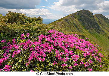 Rhododendron flowers in the mountains - Summer landscape on...