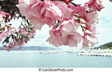 oleander - beautiful oleander in a garden of fezzano , a...