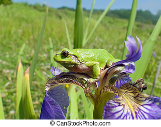 Hyla 8 - A close-up of a frog hyla Hyla japonica on haulm of...