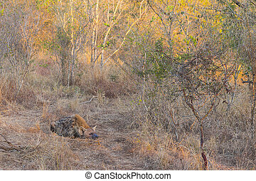 Sleeping hyena adult in the wild 1