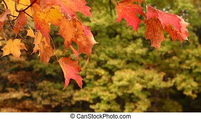 Autumn Maple Tree Leaves in Wind
