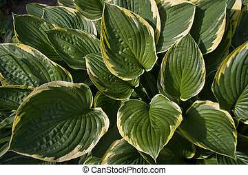 Green with yellow leaves of Hosta - Leaves of Hosta or...