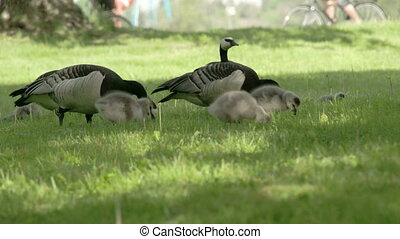 Couple of Barnacle goose on the grass - Couple of Barnacle...
