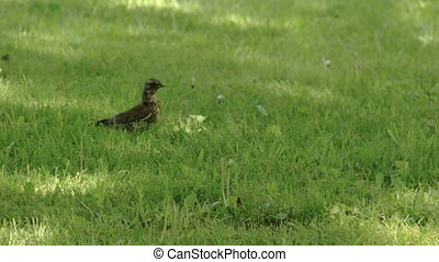 A Song thrush on the grass FS700 Odyssey 7Q - A Song thrush...