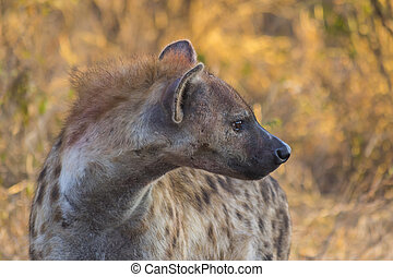 Hyena adult in the wild 2