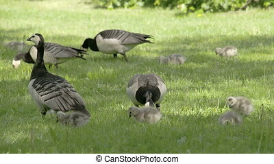 Set of goose and goslings on the grass - Set of goose and...