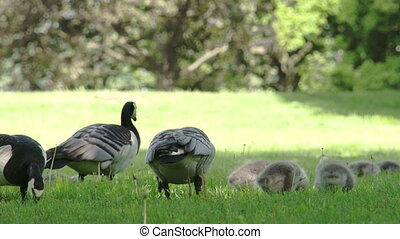 Four goose and the goslings - Four goose and the little...
