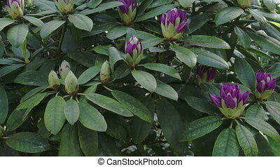 Lots of Rhododendron flowers on the park FS700 Odyssey 7Q -...