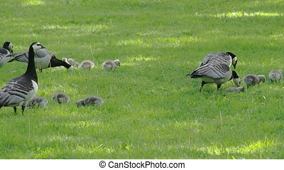 Lots of goose and gosling on the park FS700 Odyssey 7Q -...