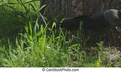 A black jackdaw hopping FS700 Odyssey 7Q - A black Western...