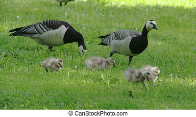 The goose and the goslings around the park FS700 Odyssey 7Q...