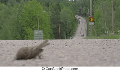 A dead sparrow on the road - A dead sparrow lying on the...