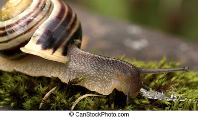 The snail eating some grass - The snail eating some green...