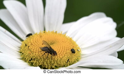 A mayweed flower with a fly and some pests on it FS700...