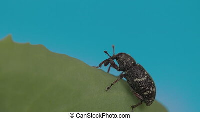 The black beetle on the leaf FS700 Odyssey 7Q - The black...