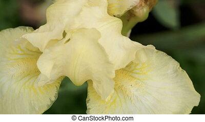 An Iris pseudacorus flower - A close up look of Iris...