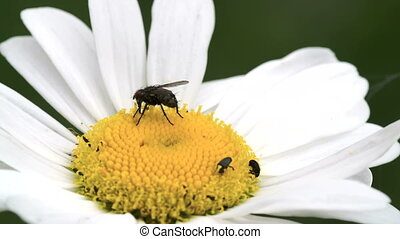 A big fly on the mayweed flower with lots of pests on it...