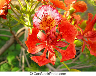 Flamboyant Flame Tree-one - Flamboyant, Royal Poinciana or...