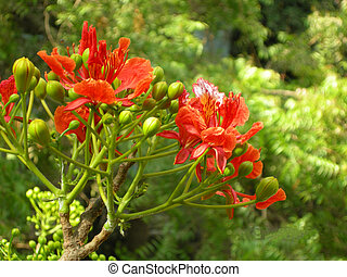 Flamboyant Flame Tree-five - Flamboyant, Royal Poinciana or...