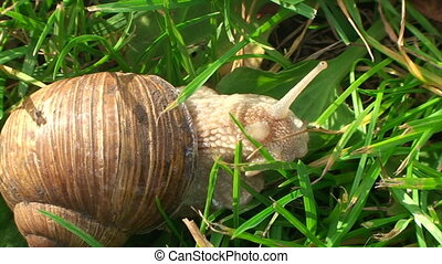 big snail crawling about in the grass in the garden weather...