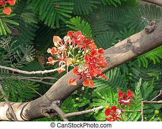 Flamboyant Flame Tree-seven - Flamboyant, Royal Poinciana or...
