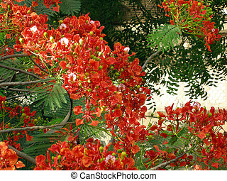 Flamboyant Flame Tree-eight - Flamboyant, Royal Poinciana or...