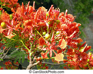 Flamboyant Flame Tree-nine - Flamboyant, Royal Poinciana or...