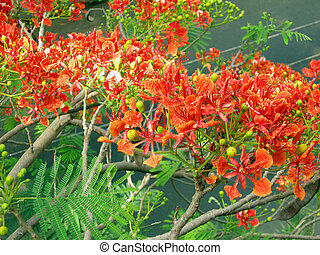Flamboyant Flame Tree-ten - Flamboyant, Royal Poinciana or...