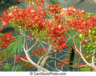 Flamboyant Flame Tree-twelve - Flamboyant, Royal Poinciana...