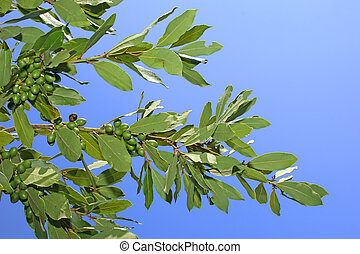 Bay leaves on the background of blue sky