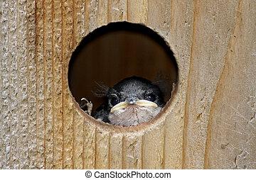 Baby Bird In a Bird House - Baby Tree Swallow (tachycineta...