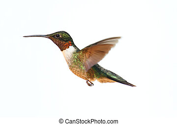 Isolated Ruby-throated Hummingbird - Ruby-throated...