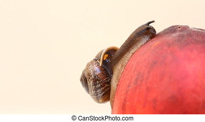 snail eats fruit an peach on a white background - snail...