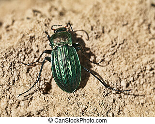 Green scarab - Macro of a green scarab on dry soil