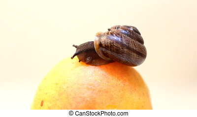 snail eats fruit an apricot on a white background - snail...