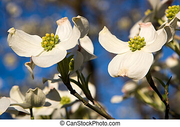 Dogwood Blossoms - Blossoms of a Dogwood tree against a blue...