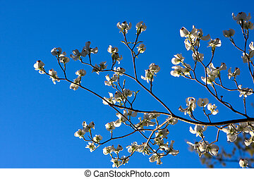 Dogwood Tree Blossoms - The branch of a Dogwood tree with...