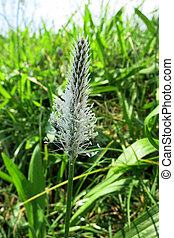 Hoary plantain (Plantago media) inflorescence